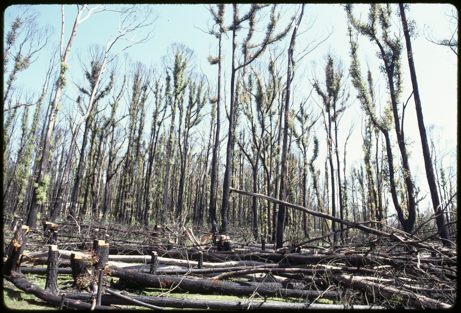 Regrowth in forest after a bushfire. Rennie Ellis